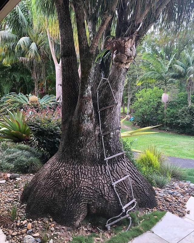 Pony Tail Palm in Ballina NSW